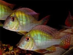 суринамские геофагусы в аквариуме