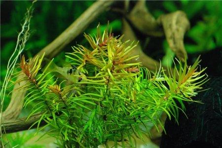 бутерлак двухтычинковый в аквариуме