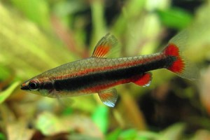 рыбка бекфорда