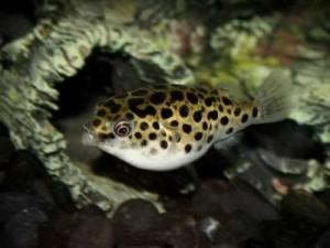 тетраодон в видовом аквариуме