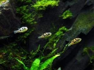 видовой аквариум с тетраодонами