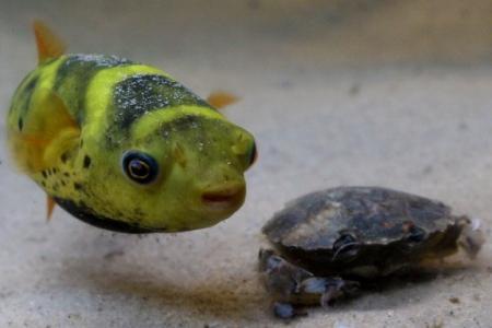 зеленый тетраодон в аквариуме