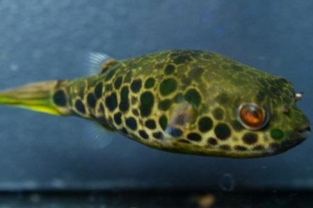 леопардовый тетраодон в аквариуме