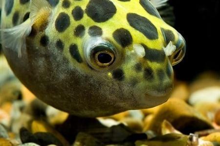тетраодон нигровиридис в аквариуме