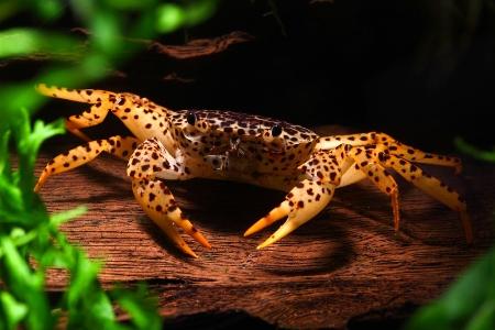 королевский леопардовый краб