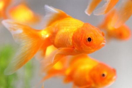 золотые рыбки в аквариуме для нереста