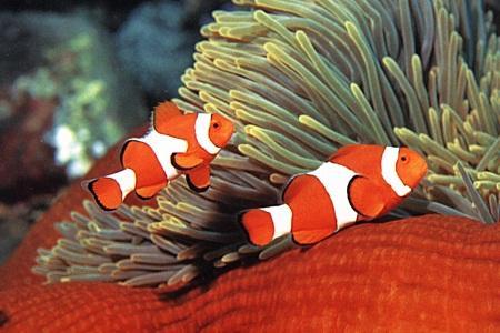 Рыбки клоуны в нерестовике