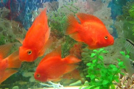 видовой аквариум с красными попугаями