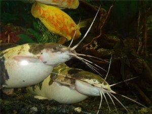 аквариумеый сом