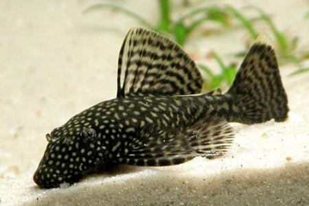 аквариумный сомик