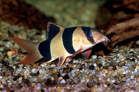донная рыбка боция