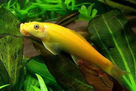 донная рыбка гиринохейлус