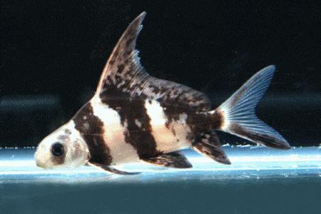 донная рыбка миксоципринус