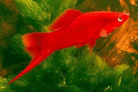 живородящая рыбка меченосец