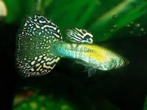 живородящая рыбка гуппи
