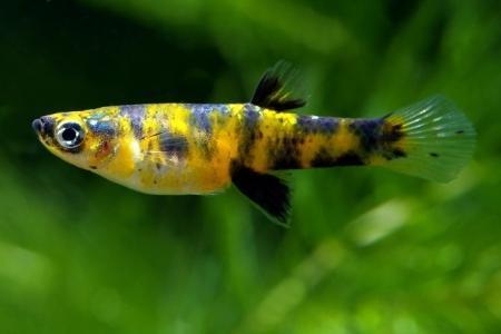 живородящая рыбка гирардинус