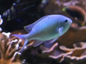 морской хромис сине-зеленый