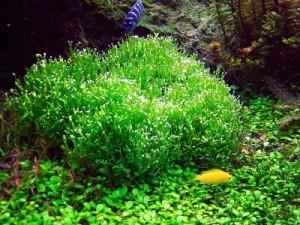 заросли яванского мха в аквариуме