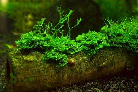 яванский мох растет на различных поверхностях
