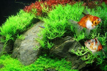 оформление аквариума яванским мхом