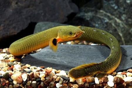 африканская рыбка каламоихт