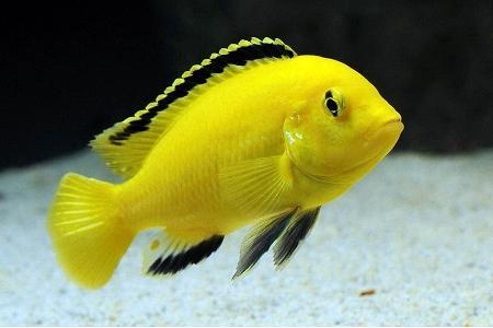 желтый лабидохромис