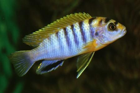 лабидохромис хонги в аквариуме