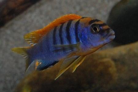 лабидохромис кимпума в аквариуме