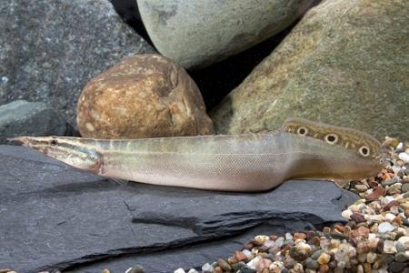 рыбка с необычной внешностью