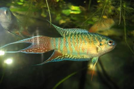 голубой макропод в аквариуме