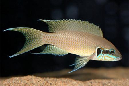 тропическая пресноводная рыбка