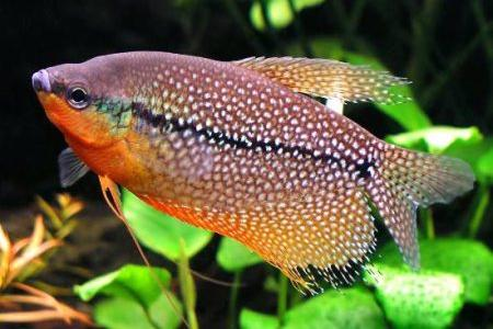 жемчужный гурами в аквариуме