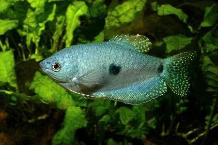 голубой гурами в аквариуме