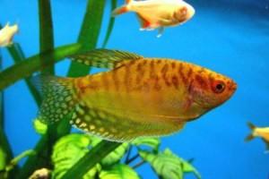 золотой гурами в аквариуме