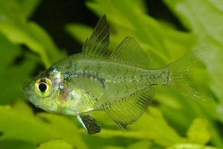 примечательная рыбка в аквариуме