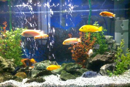 аквариум с яркими рыбками цихлидами