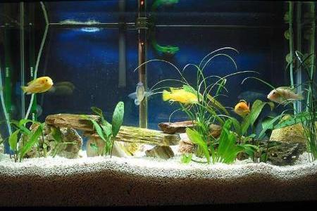 красивый аквариум вида цихлидник