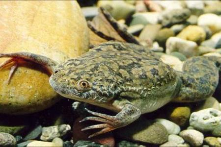 шпорцевая лягушка или ксенопус