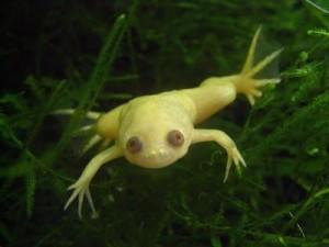 специально выведеный вид шпорцевой лягушки