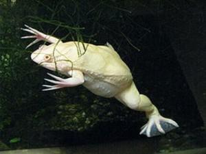 шпорцевая лягушка альбинос или белая обезьяна