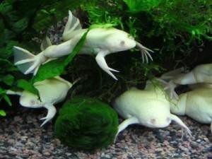 шпорцевые лягушки альбиносы в аквариуме