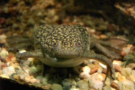 африканская шпорцевая лягушка в аквариуме