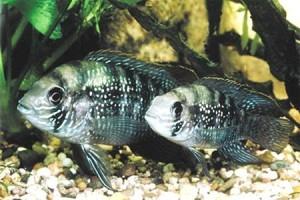 голубовато пятнистые акары в <em>неоновая рыбка уход и содержание</em> аквариуме