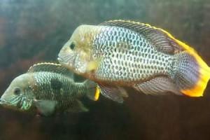 бирюзовые акары в аквариуме