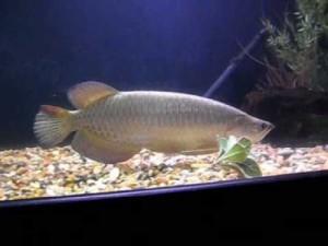 жемчужная арована джардини в аквариуме