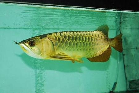 золотая арована в аквариуме