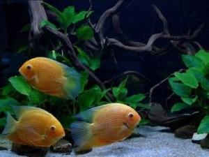 красноточечные северумы в аквариуме