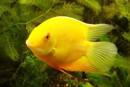 золотой северум в аквариуме