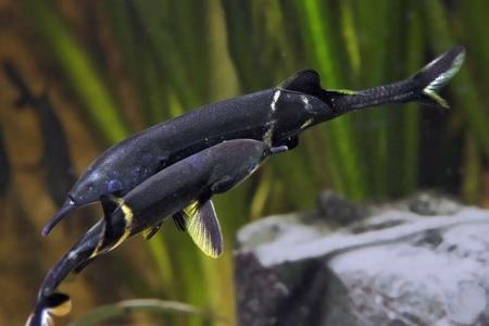рыбки слоники в аквариуме