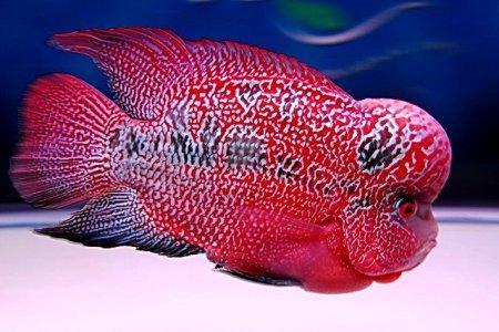 хорн в аквариуме